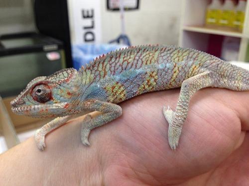 到着!!Amazing Blue Reptilesパンサー!!   カメレオン 宝塚市 爬虫類 ハ虫類 両生類 小 ... - photo#36